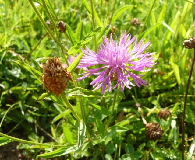Centaurea jacea - centaurée jacée  Centau11