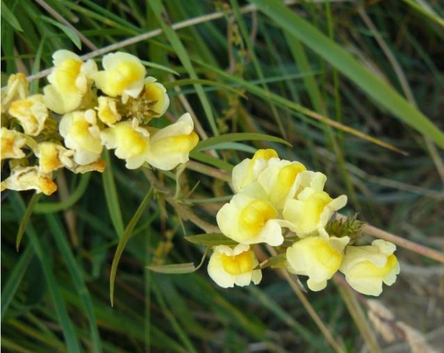Linaria sp. [id. non terminée] Linair12