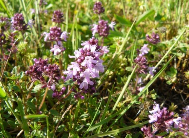 Thymus serpyllum - serpolet ou thym serpolet  Serpo10