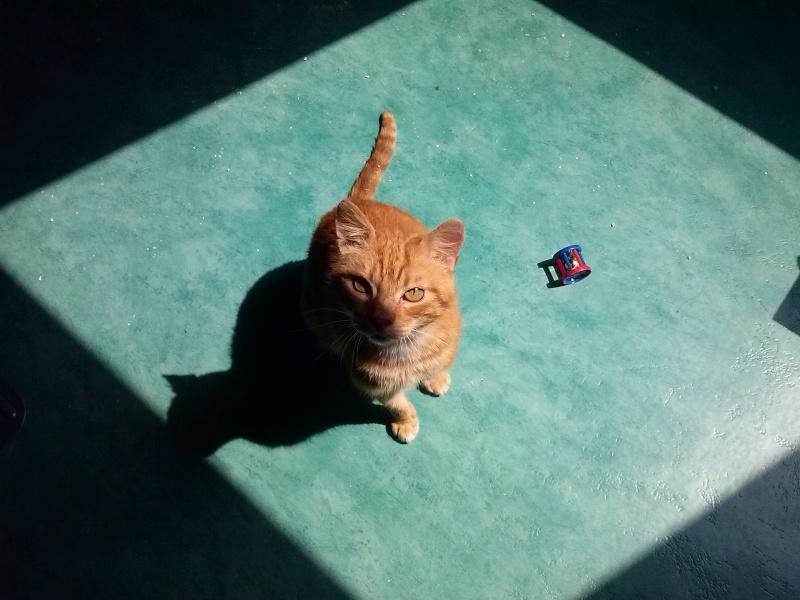 Garfield chat roux et blanc né le 01/01/2007 FIV +  (tarif sauvetage 50 euros)  -  BDS 35 Cam00210