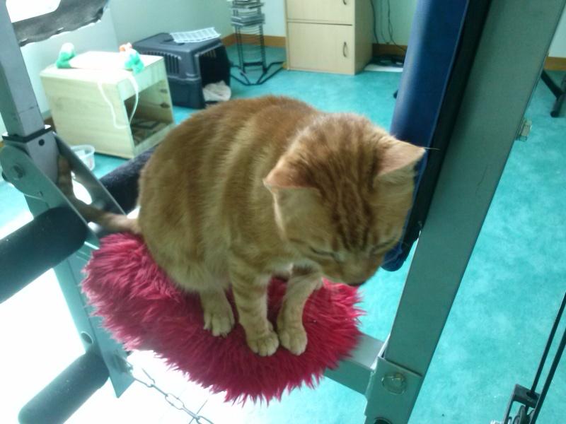 Garfield chat roux et blanc né le 01/01/2007 FIV +  (tarif sauvetage 50 euros)  -  BDS 35 Cam00214