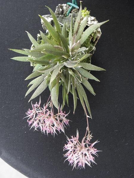 Miniatur- Orchideen - Seite 6 P7140010