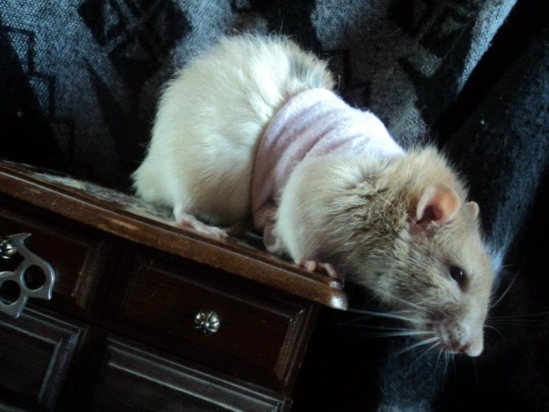 Le rat saucisson - Protéger une plaie après opération - Page 8 52980910