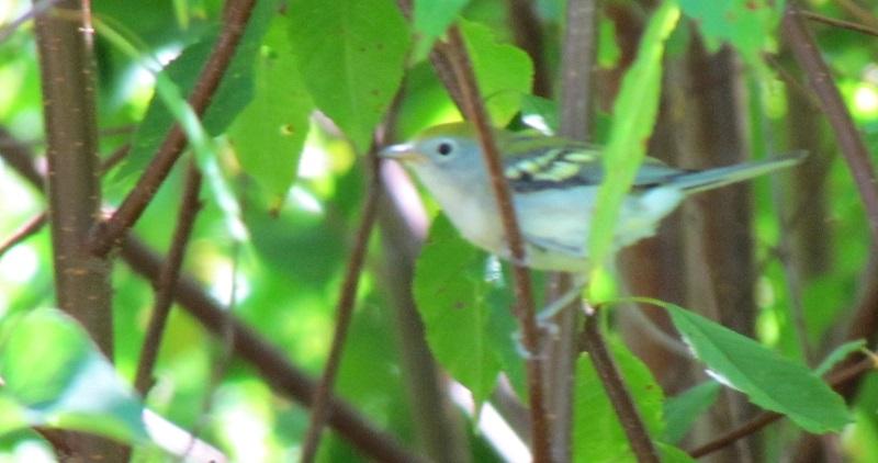 Paruline à flancs marron plumage d'automne ?? Img_3613