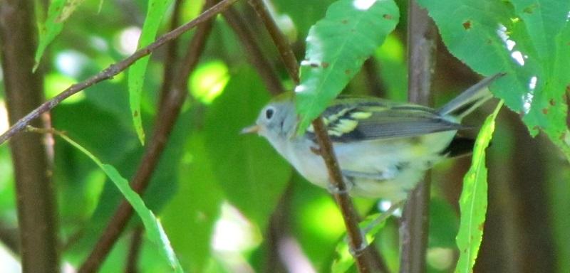Paruline à flancs marron plumage d'automne ?? Img_3614