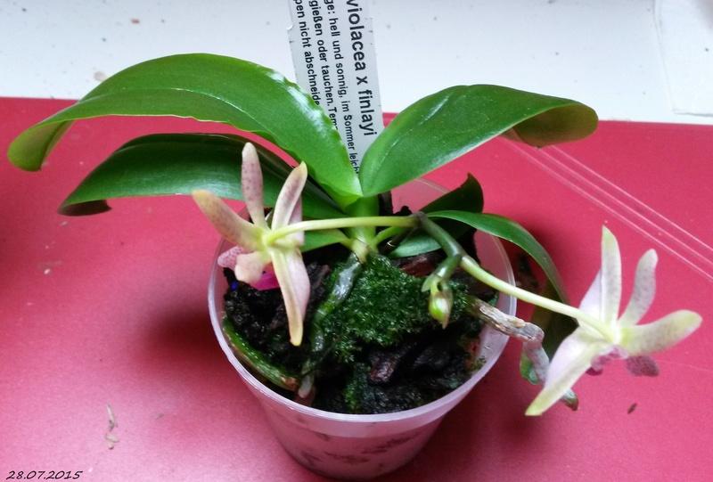 Phalaenopsis violacea x finleyi (Alfinia) 20150711