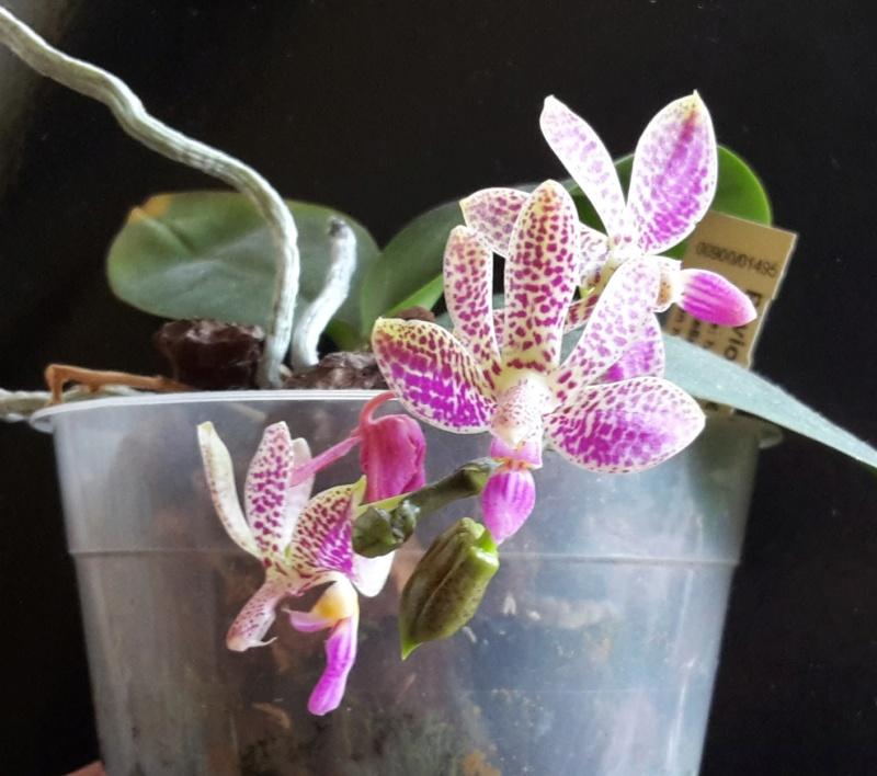 Phalaenopsis violacea x finleyi (Alfinia) 20180712