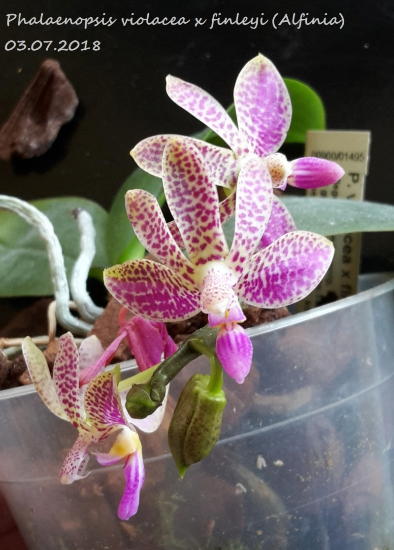 Phalaenopsis violacea x finleyi (Alfinia) 20180713
