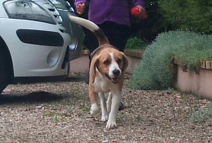 Lili Beagle 4 ans (95) 26927810