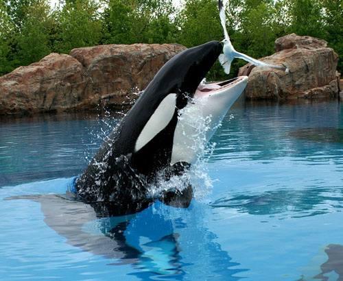 Photos d'orque et leurs proies - Page 6 39698310