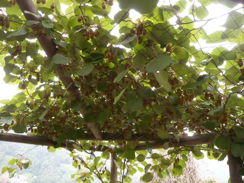 actinidia fruit kiwi - Page 4 P1060113