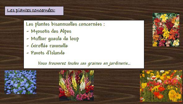 Fiche Semis de Bisannuelles pour des fleurs en hiver Bisann12