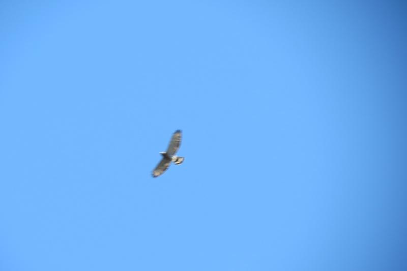 Oiseau de proie  Img_0312