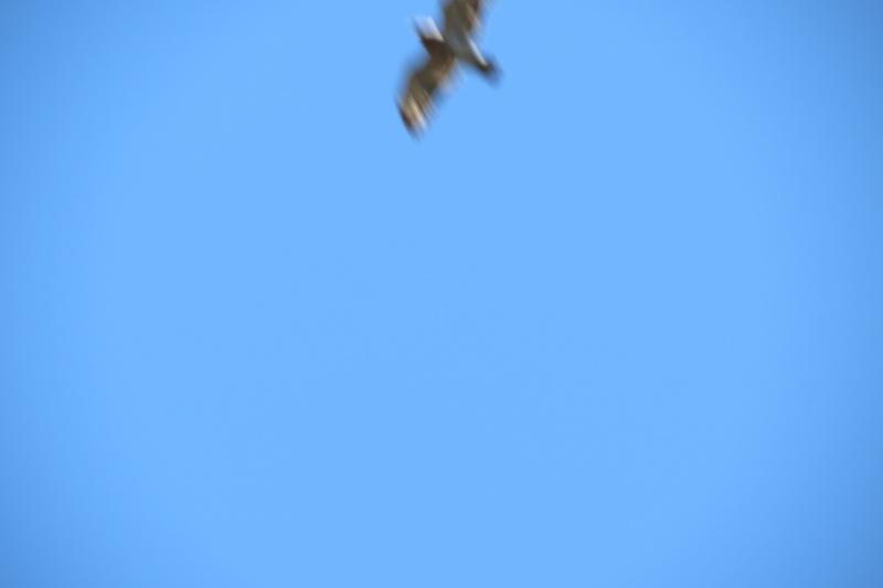 Oiseau de proie  Img_0313
