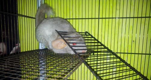 Femelle grise à vendre 20130711