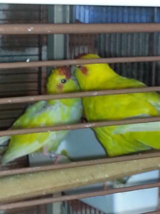Reproduction de ma femelle kakariki  20130728