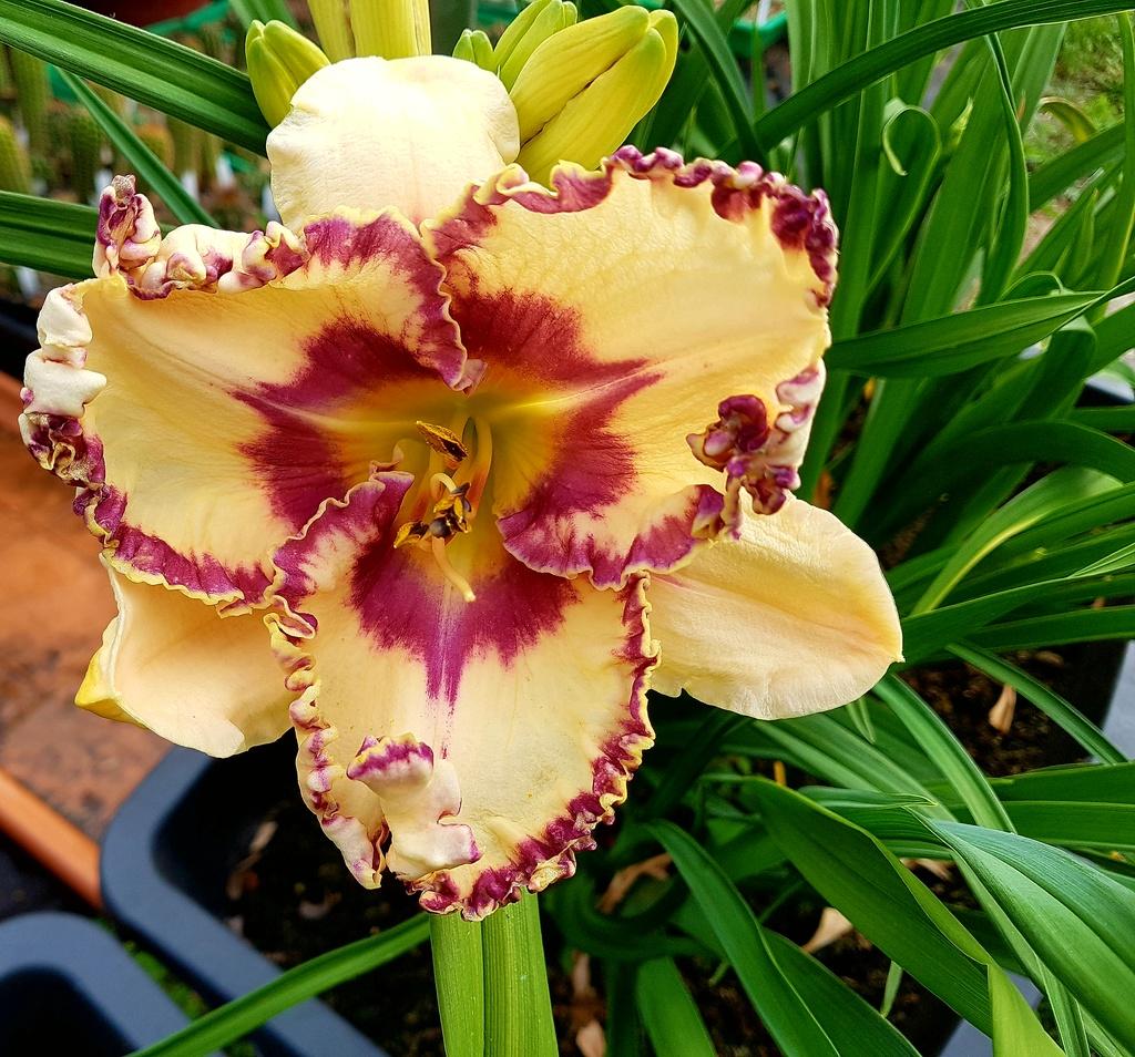 Hemerocallis - Taglilien - Schönheiten im Juni und Juli - Seite 8 20180610
