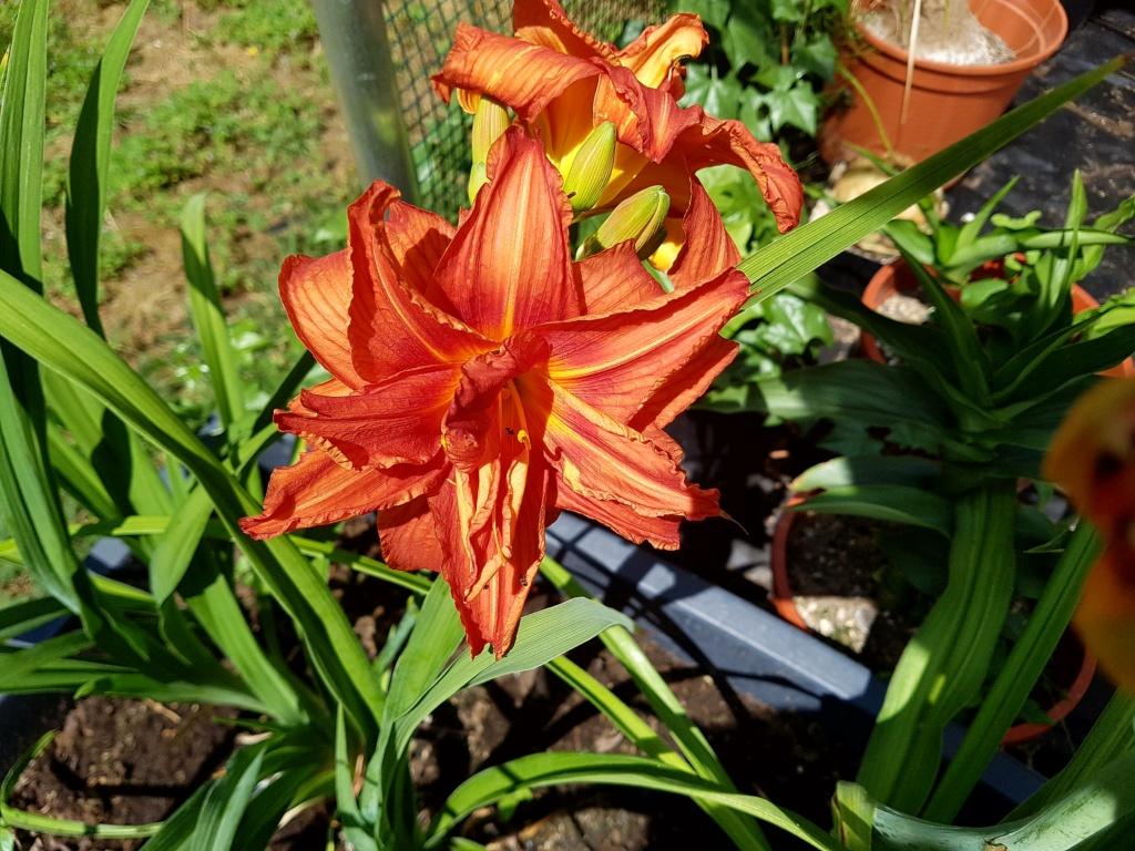 Hemerocallis - Taglilien - Schönheiten im Juni und Juli - Seite 8 20180614