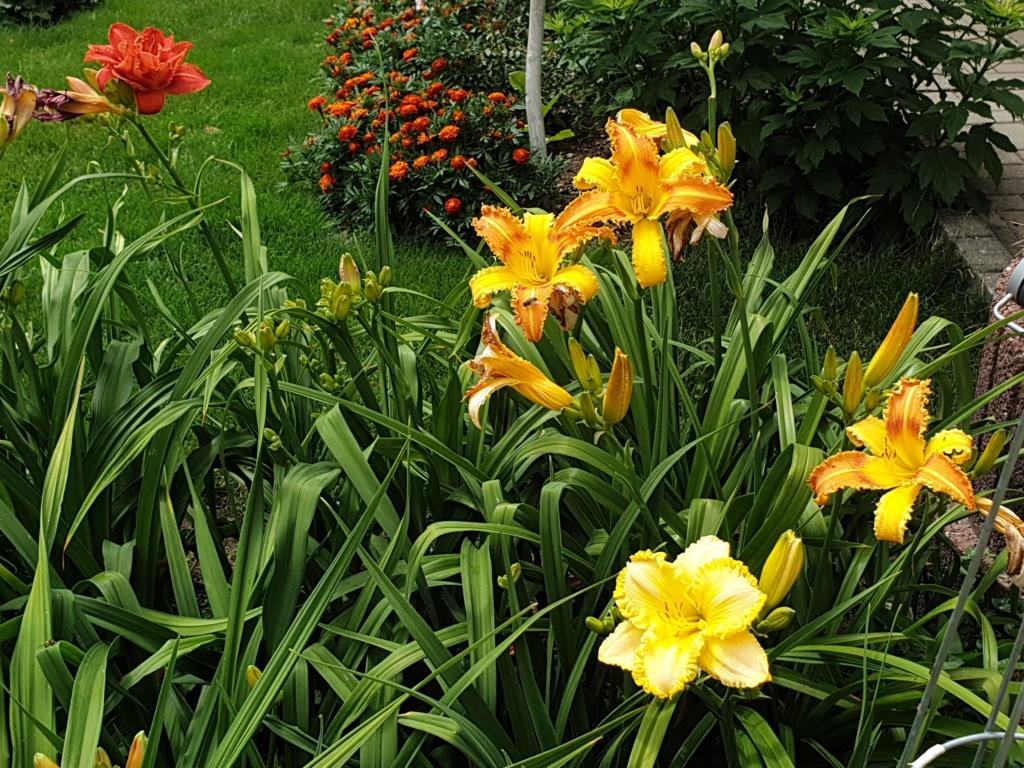 Hemerocallis - Taglilien - Schönheiten im Juni und Juli - Seite 9 20190710
