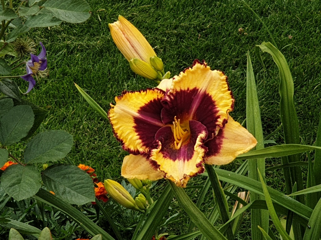 Hemerocallis - Taglilien - Schönheiten im Juni und Juli - Seite 9 20190712