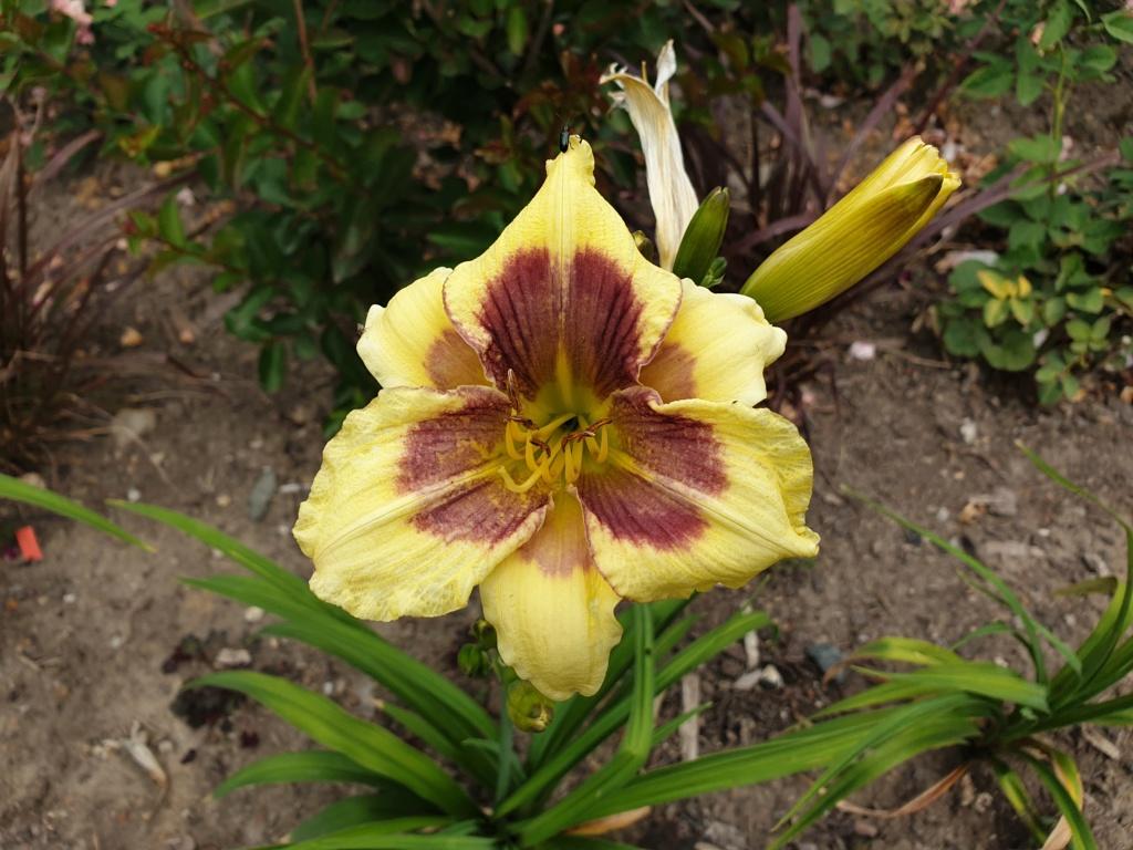 Hemerocallis - Taglilien - Schönheiten im Juni und Juli - Seite 9 20190715