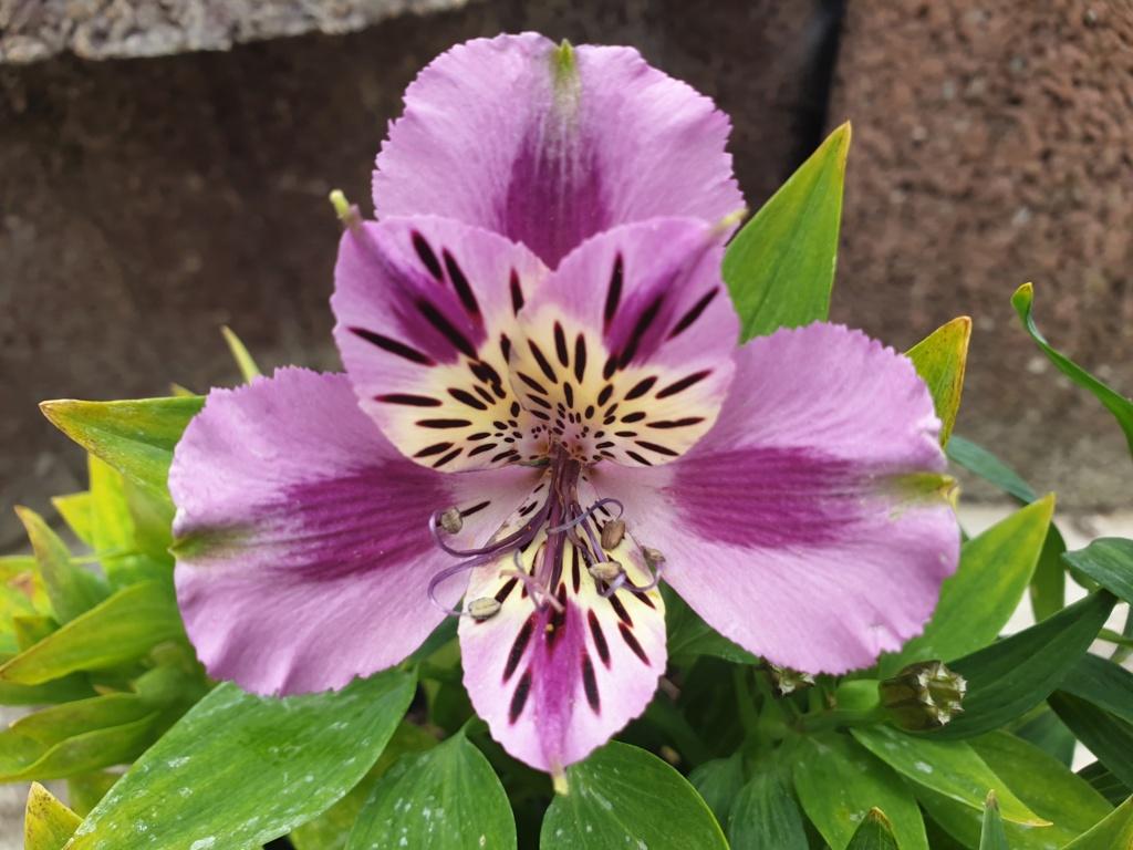 Lilien(artige) -  natürlich Lilien, aber auch Inkalilien, Zeitlose, Germer und Stechwinden - Seite 13 20190823