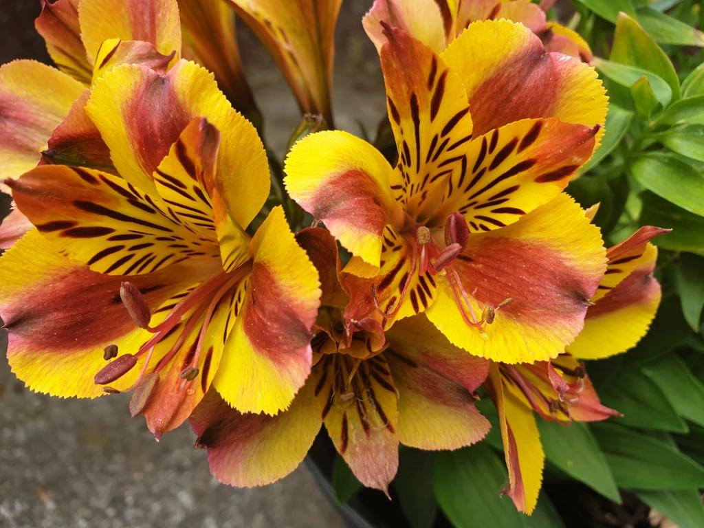 Lilien(artige) -  natürlich Lilien, aber auch Inkalilien, Zeitlose, Germer und Stechwinden - Seite 13 20190824