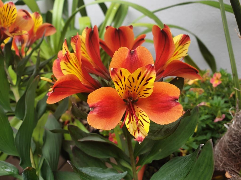 Lilien(artige) -  natürlich Lilien, aber auch Inkalilien, Zeitlose, Germer und Stechwinden - Seite 13 20190825
