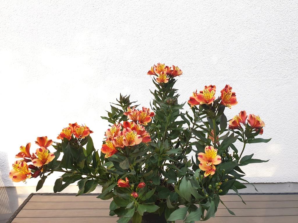 Lilien(artige) -  natürlich Lilien, aber auch Inkalilien, Zeitlose, Germer und Stechwinden - Seite 14 20190826