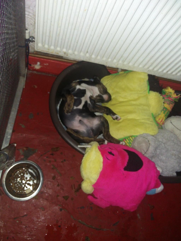 Litter of 6 male pups who all got their loving forever homes Zeki_210