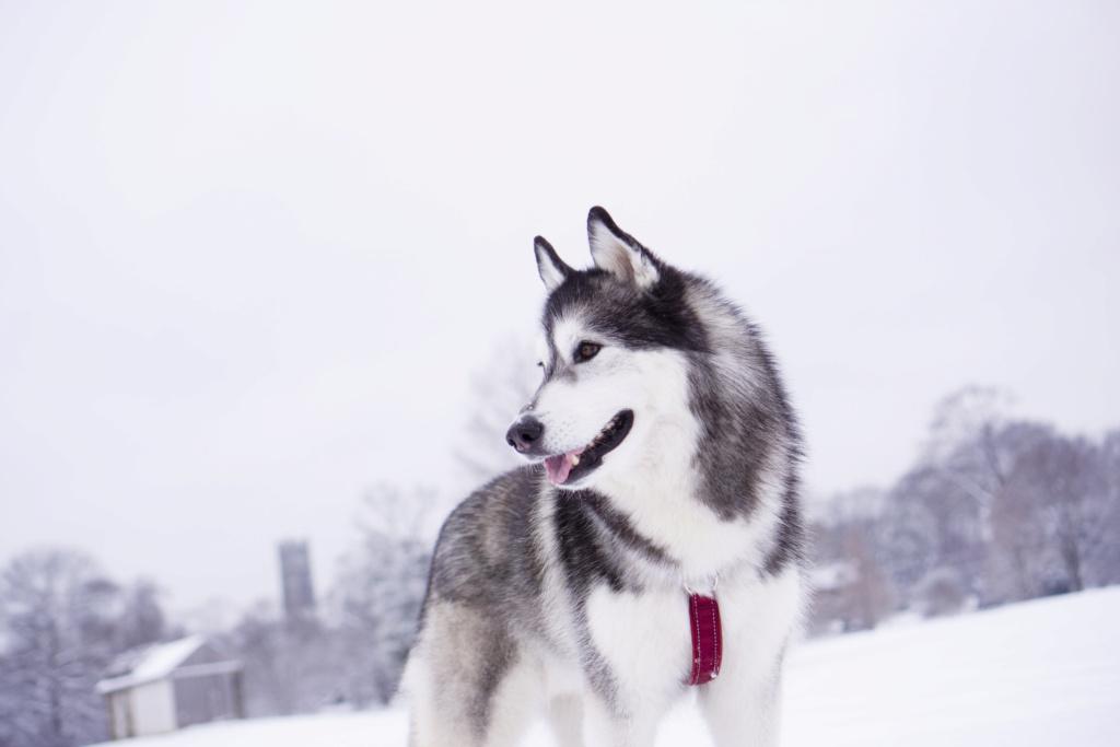 Which breeder? Karnovanda or Snowmist? Dsc02013