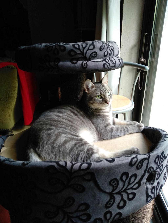 Félix, chat gris tigré, né le 30 juin 2017. Img_2011
