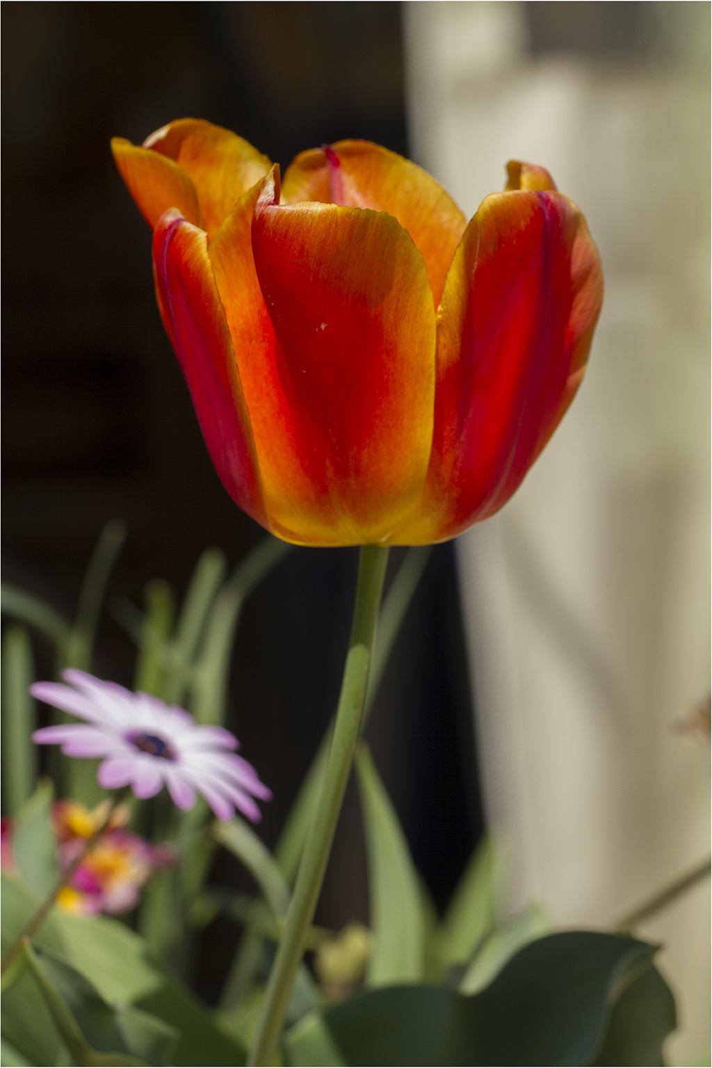 [Flore] Au jardin, la tulipe orange _mg_7815