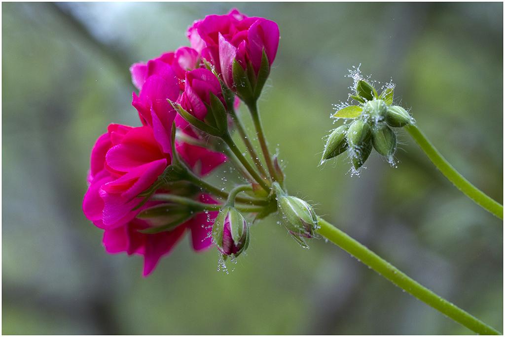 [Flore] Parure matinale _mg_8024