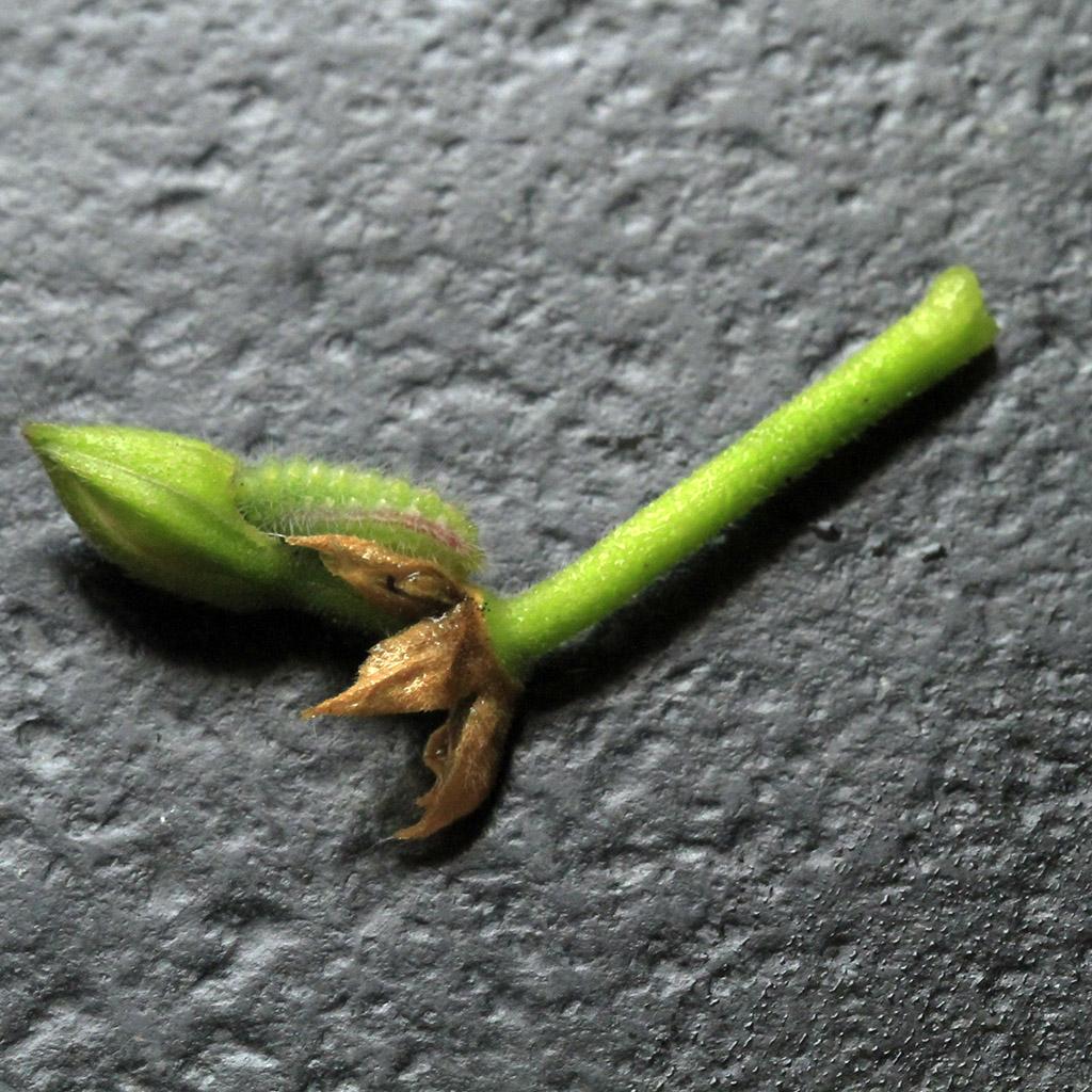 [Flore] L'ogre du géranium _mg_8027
