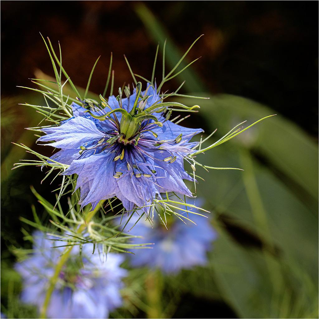 [Flore] Nigelle de Damas Bp1a9320