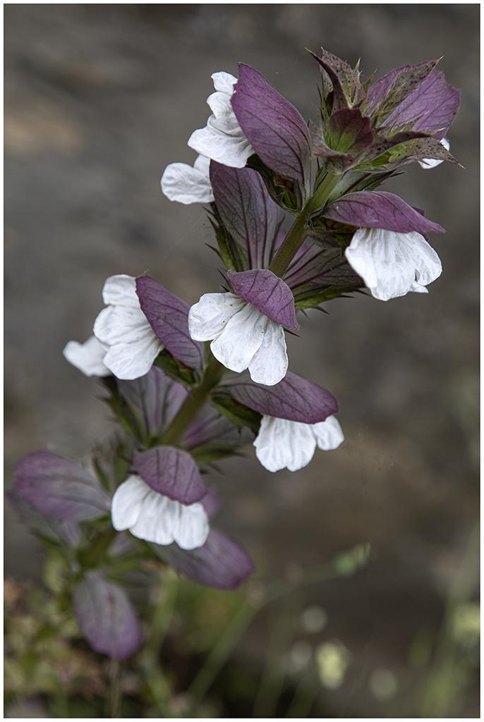 [Flore] Acanthus Mollis Bp1a9412