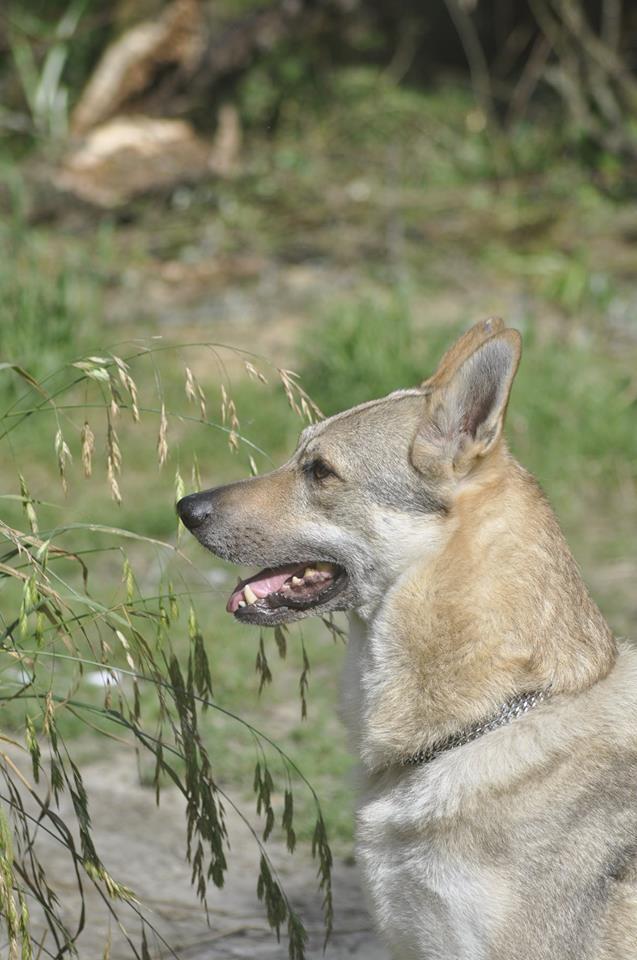 Ash le chien loup 11392810