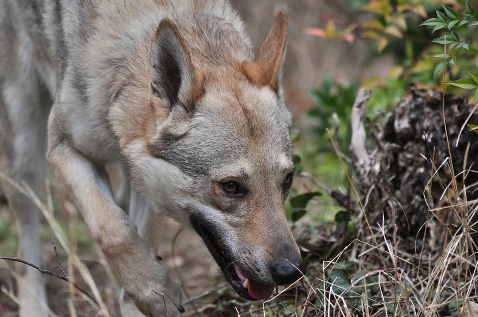 Les Shiba_ Inu sont les chiens les plus beaux :p 13325410