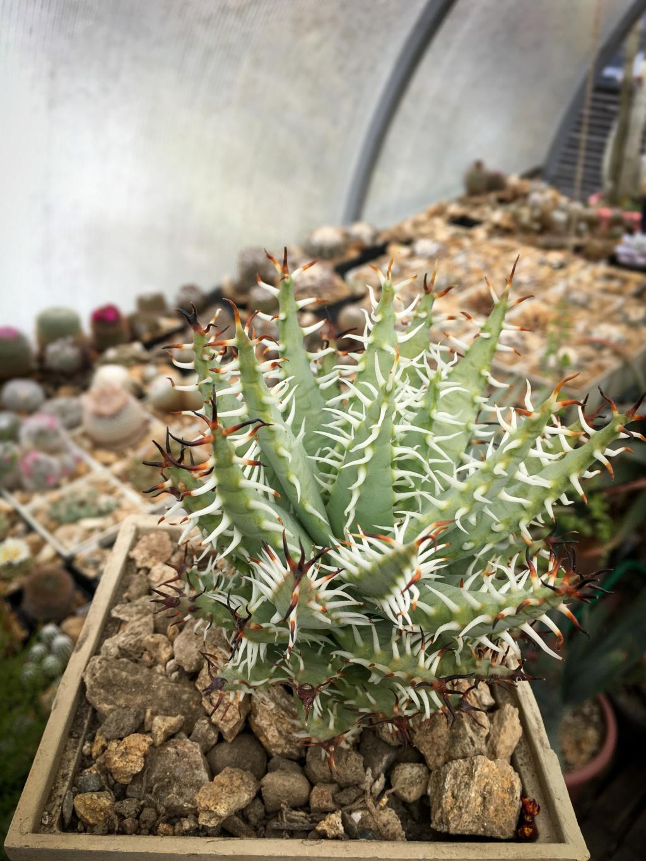 Aloe erinacea Aloe_e10