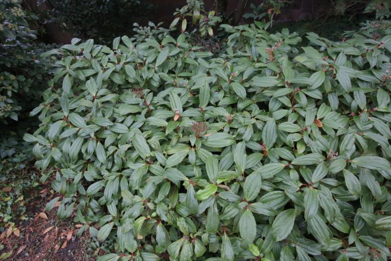 Viburnum davidii [Identification] Img_2810