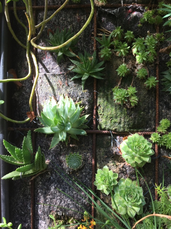 Mon mur végétal de succulentes - Page 2 Img_4714