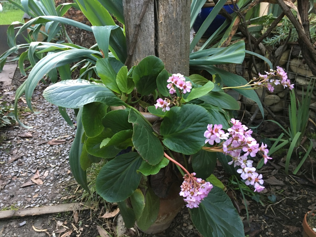 Bergenia - le genre - Page 3 Img_5515