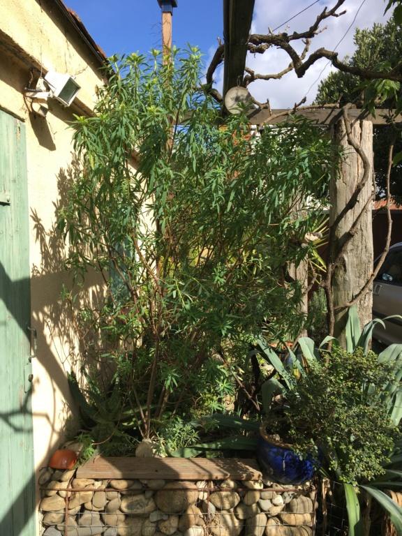 Euphorbia dendroides - euphorbe arborescente - Page 2 Img_5710