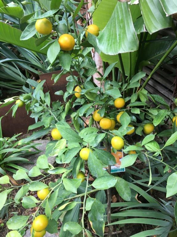 Citrus reticulata subsp. unshiu - mandarinier satsuma - Page 2 Img_7313