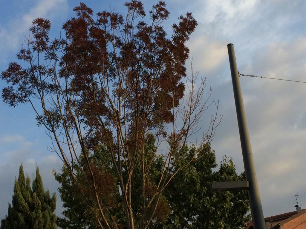 Fraxinus angustifolia [Identification arbre de rue] Img_7510