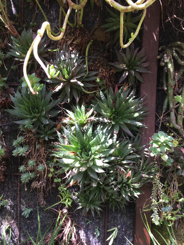Mon mur végétal de succulentes - Page 2 Img_8710