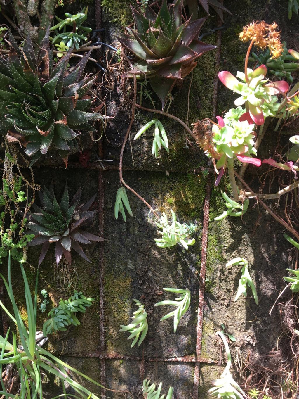 Mon mur végétal de succulentes - Page 2 Img_8711