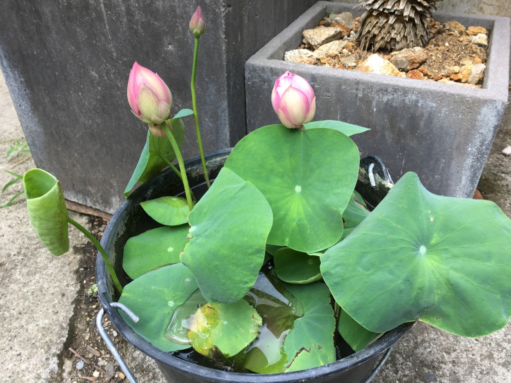 Nelumbo nucifera et horticoles - lotus sacré - Page 4 Img_9110