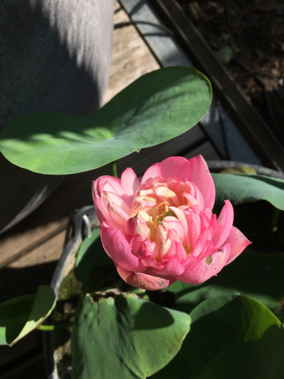 Nelumbo nucifera et horticoles - lotus sacré - Page 4 Img_9210